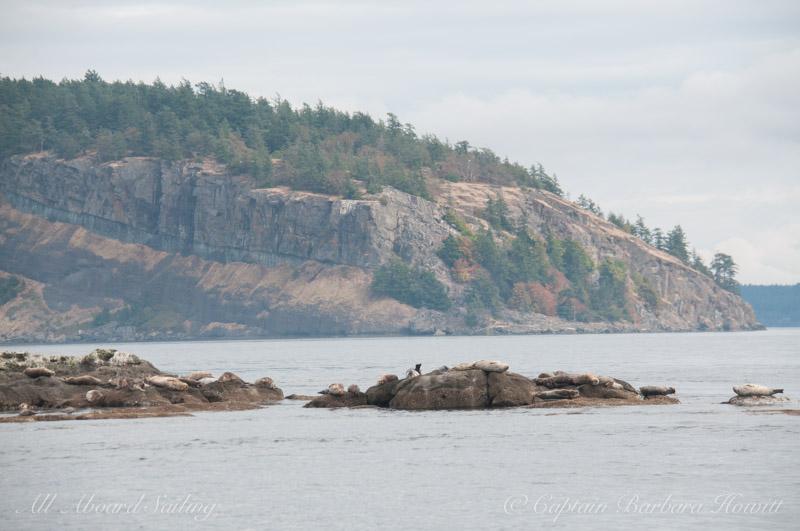 Harbor seals on White Rock