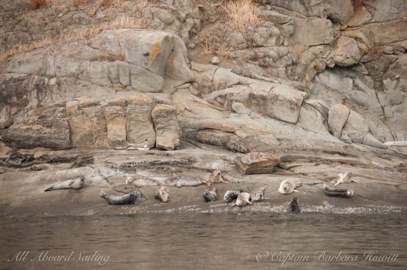Harbor seals on Skipjack Island