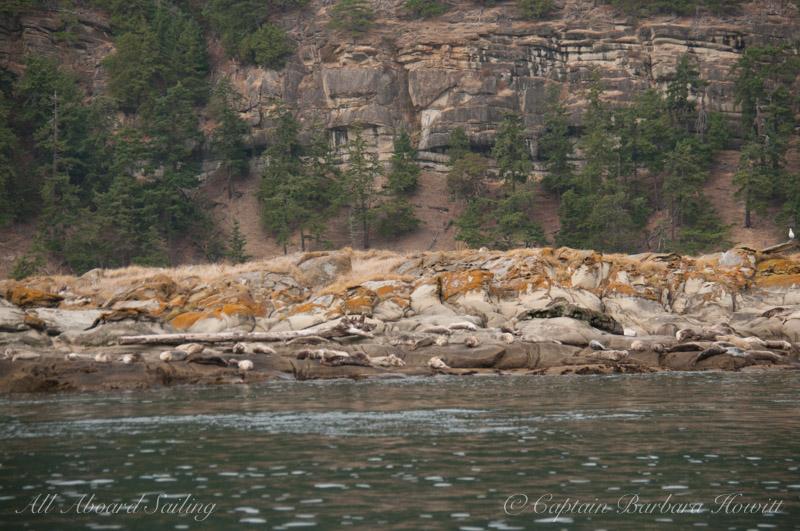Harbor seals hauled out on Java Rocks