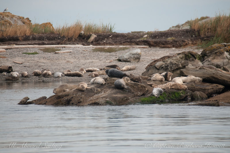 Harbor seals hauled out on Java Rocks
