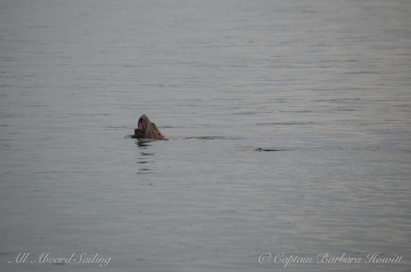 Steller sea lion near Green Pt