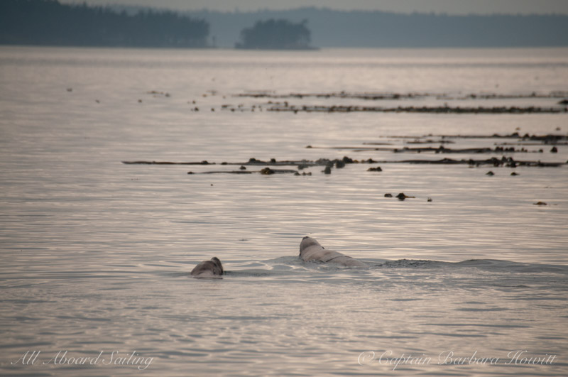 Steller sea lions near Green Pt
