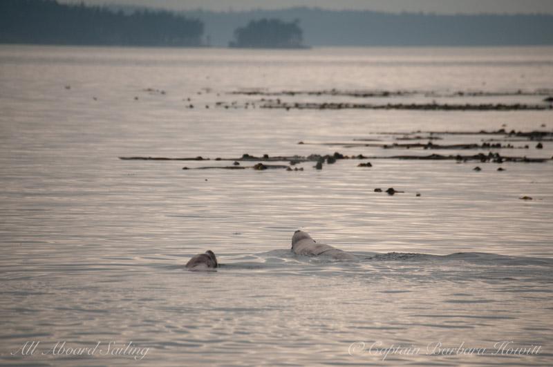 Steller sea lions near Green Pt