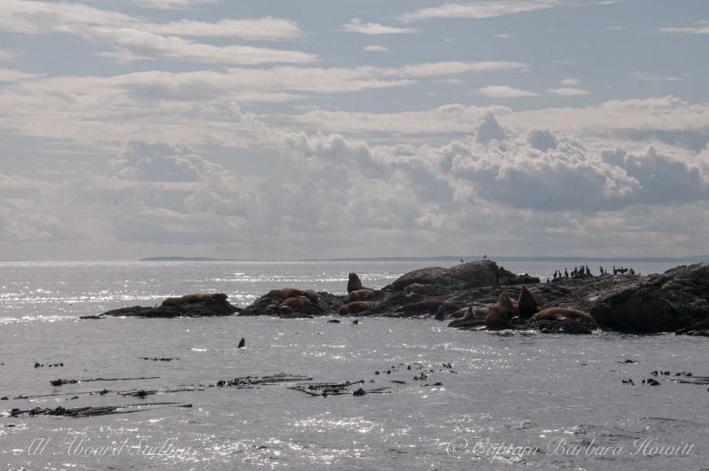 Steller sea lions on Whale Rocks