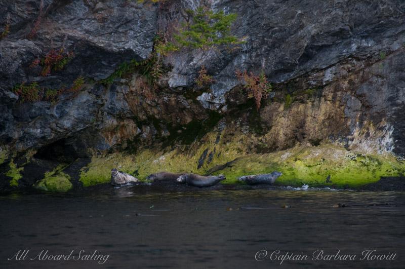 Harbor seals on Henry Island