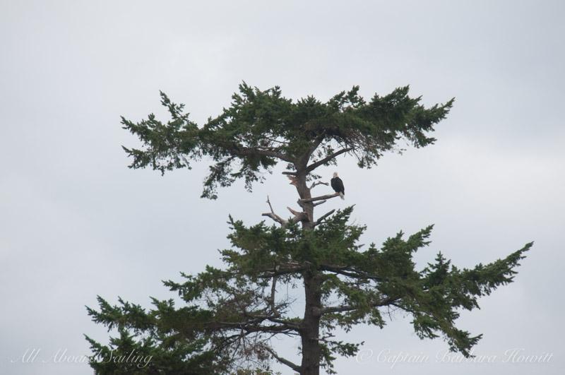 Bald eagle under nest on Battleship Island