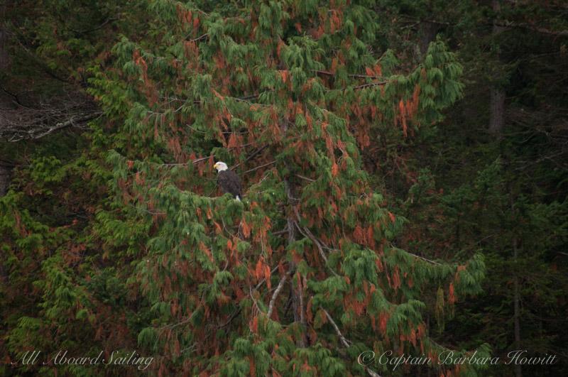 Bald eagle in cedar tree