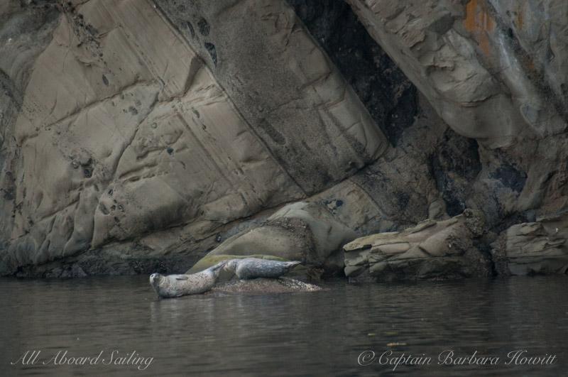 Harbor seals, Cactus Islands