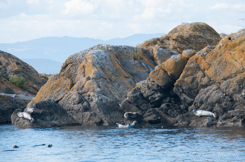 Harbor seals, White Rock