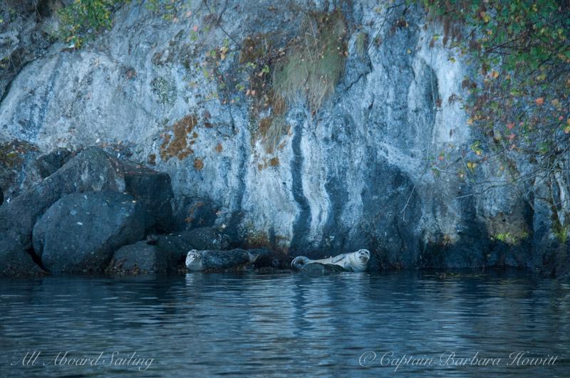 Harbor seals on Spieden Island