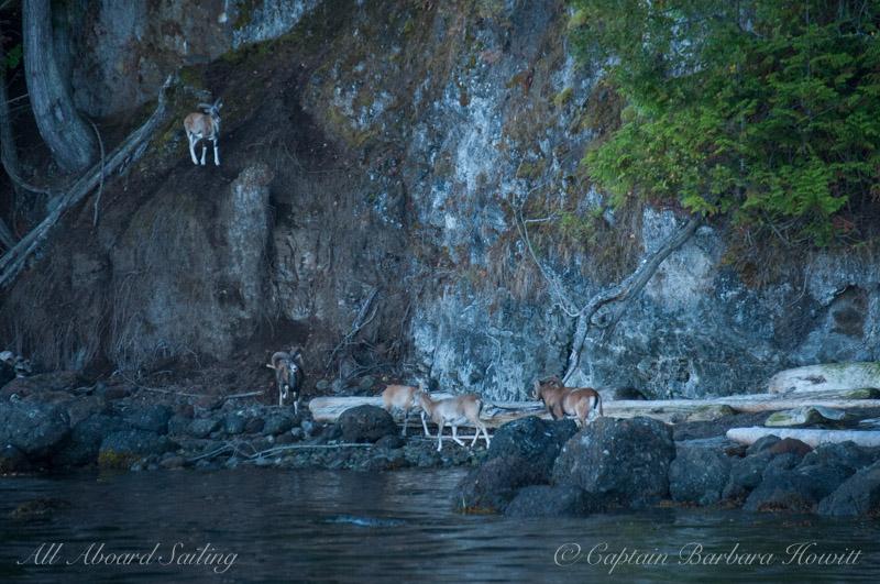 Mouflon Rams, Spieden Island
