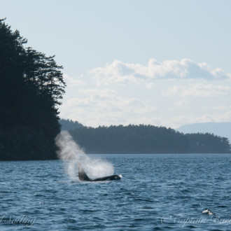 A visit with Biggs/Transient killer whales – T123's
