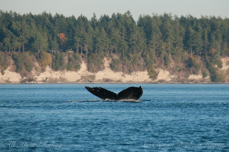 Humpback whale BCX1193 'Zig Zag'