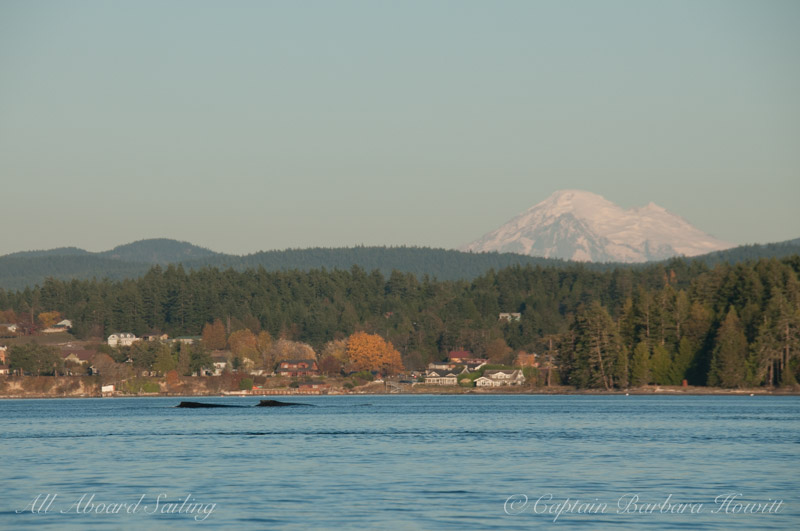 Pair of humpback whales with Mt Baker