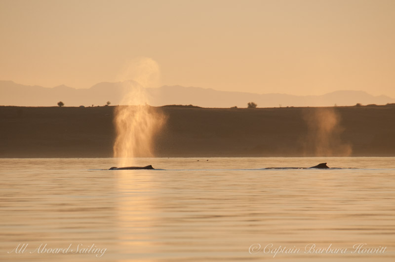 Humpback whales BCX1193 and MMX0006 in the sunset