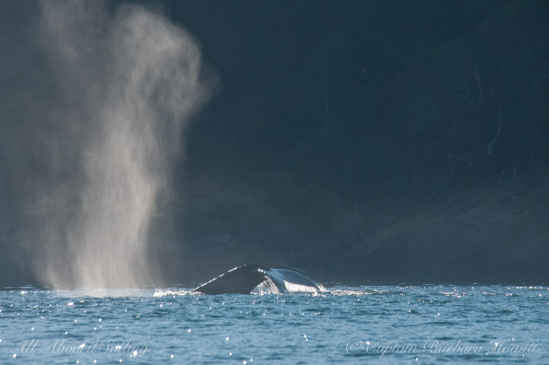 Backlit humpback whale tail