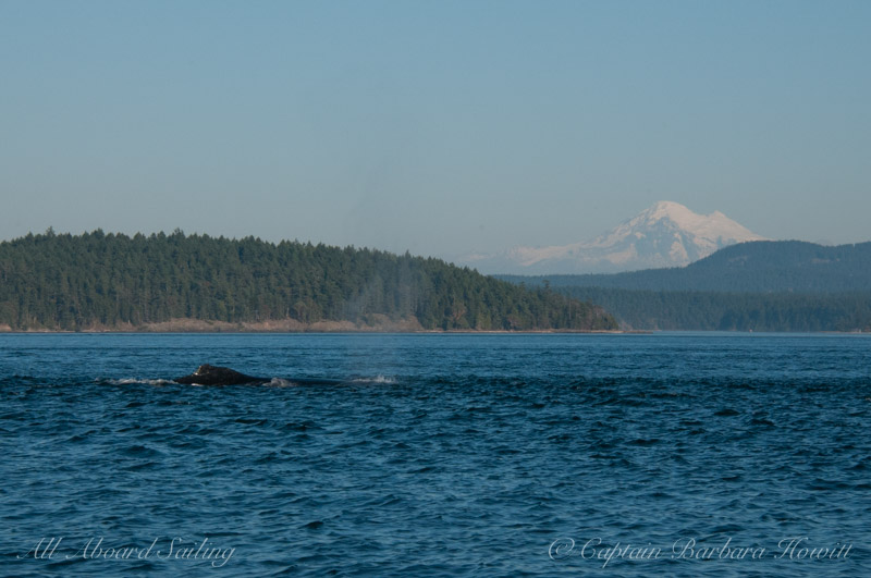Humpback whale BCXukKeta2014#1 'Crater' with Mt Baker
