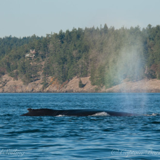 Another pair of humpbacks passing Friday Harbor