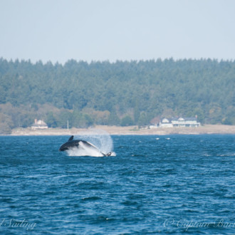 Sailing with transient orcas T2C's and 2 humpback whales