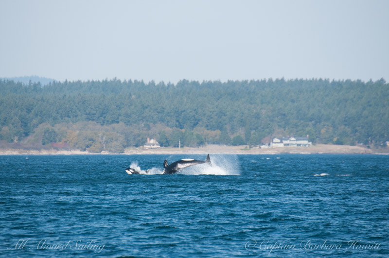 Transient orca breaching