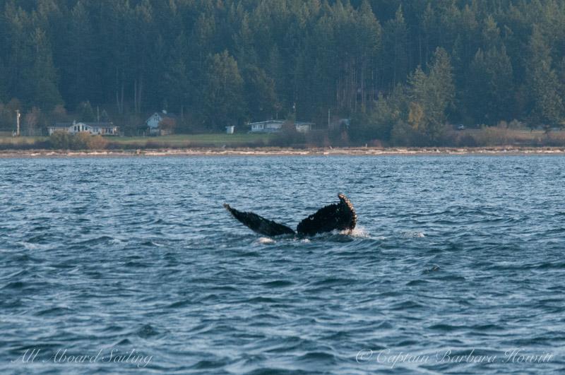 """Humpback whale BCXukKeta2015#2 """"Nike"""""""