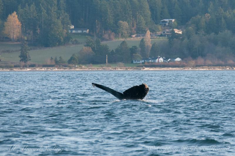 "Humpback whale BCX1057 ""Divot"""