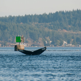 Another humpback whale passing Friday Harbor