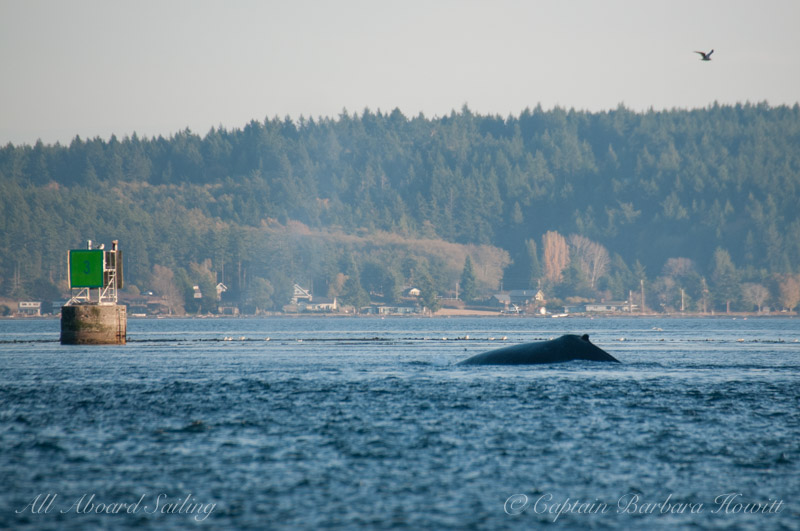 Humpback whale BCY0160 'Heather'