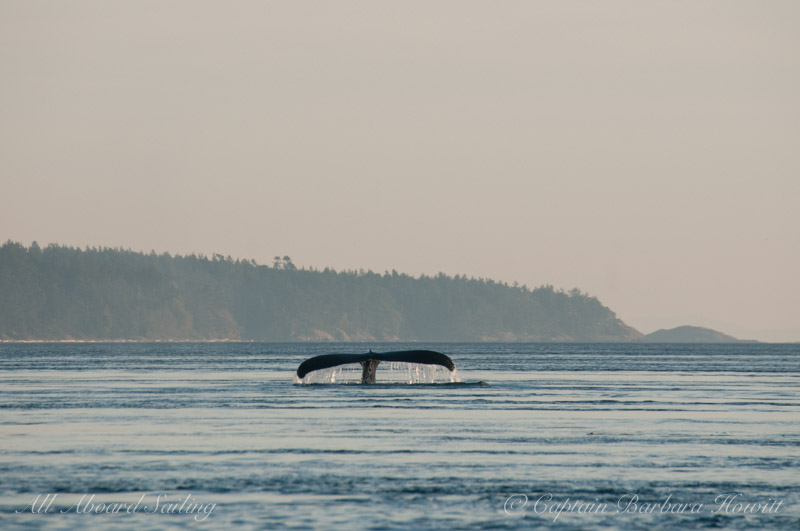 Humpback whale tail of BCY0160 'Heather'